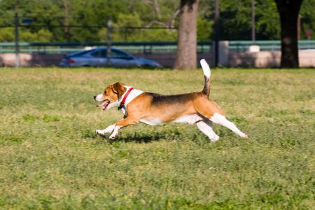Classic Beagle doing what Beagles do best - run, run, run.