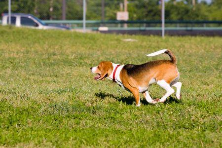 gait: Classic Beagle doing what Beagles do best - run, run, run.