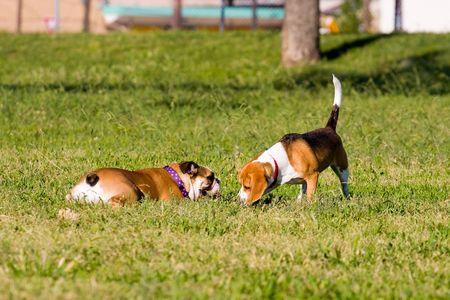 Un Beagle y un Bulldog Inglés compartir un momento de licitación.  Foto de archivo - 3110001