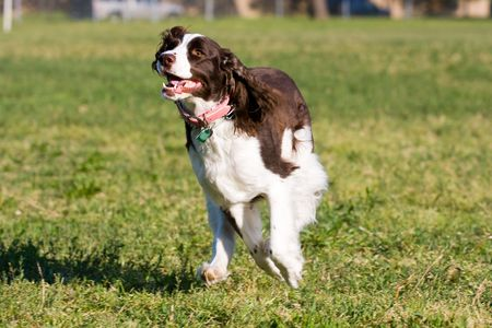 trained: A beautiful English Springer Spaniel running, playing, and posing in the park.