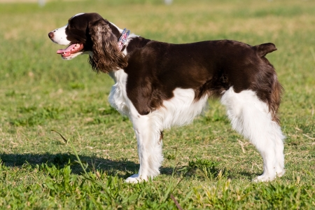 A beautiful English Springer Spaniel running, playing, and posing in the park.