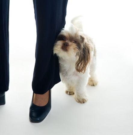 Shih Tzu puppy must stay immediately next to his master whom he loves deeply by rubbing up against her legs. Stock Photo - 3225720