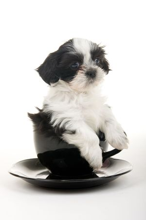 Cute black and white Shih Tzu puppy in a teacup - well, actually its more of a soupbowl and saucer - but still very cute. Shot on white background.