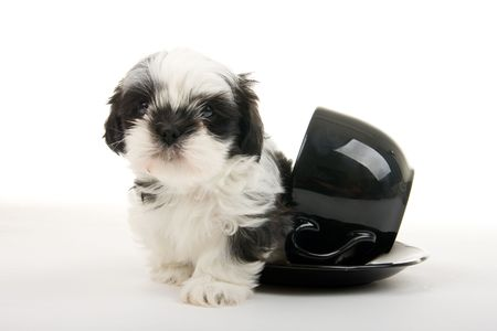 Cute black and white Shih Tzu puppy crawling out of a teacup - well, actually its more of a soupbowl and saucer - but still very cute. Shot on white background. Stock Photo