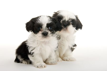 chums: Two cute Shih Tzu puppies sitting next to each other. Shot on white background.