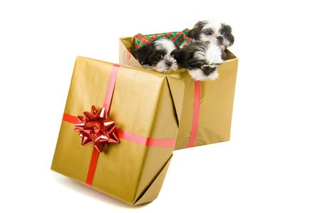 three gift boxes: Three cute Shih Tzu puppies in a gold box with a red bow and ribbon for a Christmas gift. Stock Photo