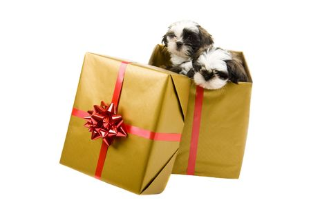 Twee schattige Shih Tzu puppies zoekt uit een doos verpakt als een kerstcadeau voor goud met papier en een rode strik en lint. Stockfoto