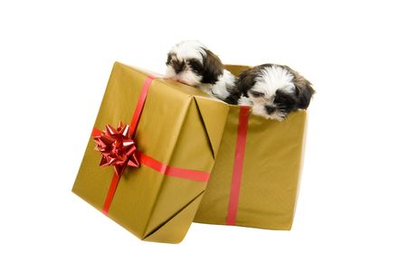 Two adorable Shih Tzu puppies are looking out of a Christmas present box with gold paper and a red bow and ribbon. photo