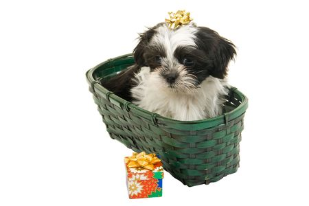 Cute Shih Tzu puppy in a green basket with a gold bow on her head. Stock Photo - 3520325