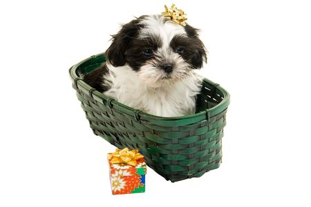 Cute Shih Tzu puppy in a green basket with a gold bow on her head. photo