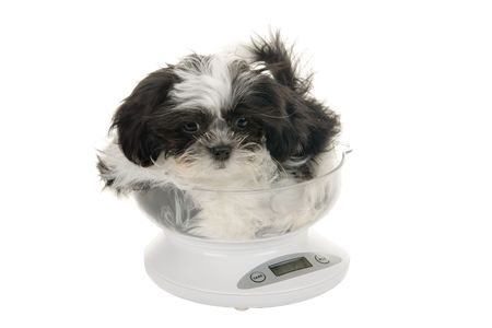 A precious little Shih Tzu puppy is being weighed on an ounce scale. photo