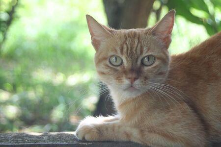 Chat jaune au repos
