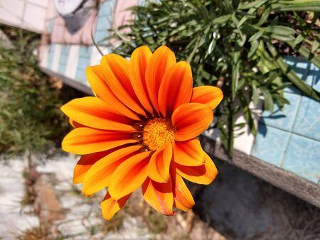 Daisy with orange petals 版權商用圖片