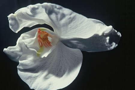 afrodita: Georgia O, Phalaenopsis, orqu�dea de polilla, Afrodita