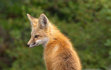 Red Fox, Ouray, Colorado