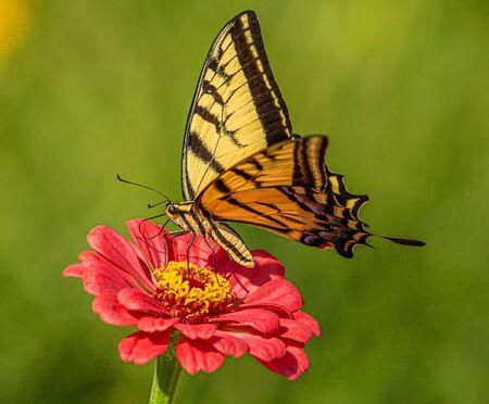 Mariposa cola de golondrina tigre occidental en busca de néctar en flores silvestres de Zinnia rojo, Jardines Botánicos de Montrose, Colorado # 5