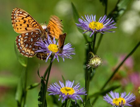 Great Spangled Fritillary Butterfly and Skipper Sipping, and Sharing, Nectar from Purple Flower on Bear Creek Trail, Telluride, Colorado #2 Stockfoto