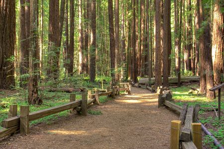 redwood: Following a trail in Armstrong Redwood Park, California.