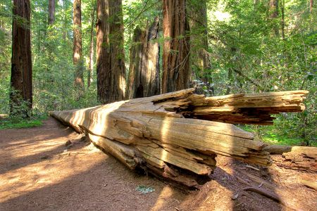 A fallen redwood tree in Armstrong Redwood State Park, California