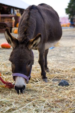Brown donkey eating grass in a farm Banco de Imagens