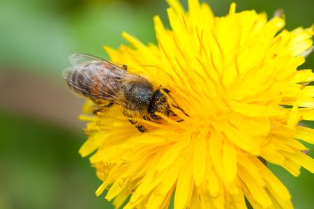 Honey bee on yellow flower collecting pollen photo