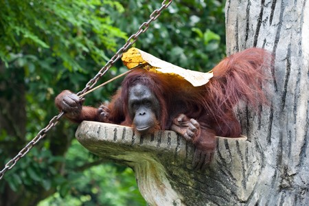 A close up portrait of the king of the primates, the Orang Utan Stock Photo