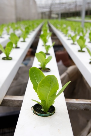 farming industry: Organic hydroponic vegetable garden at Cameron Highlands Malaysia Stock Photo