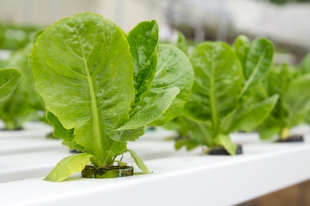 aquaculture: Organic hydroponic vegetable garden at Cameron Highlands Malaysia Stock Photo