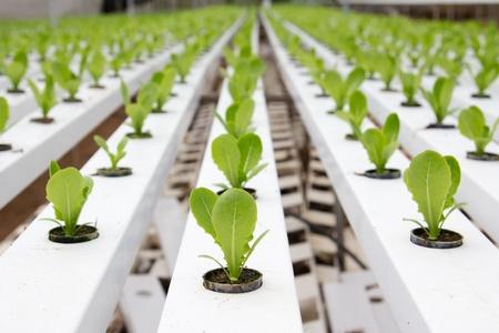 invernadero: Jard�n org�nico de vegetales hidrop�nicos en Cameron Highlands Malasia