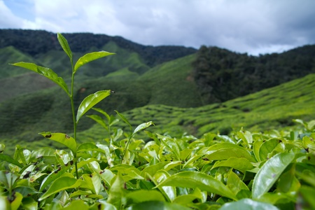 Tea leaves with plantation in the background photo
