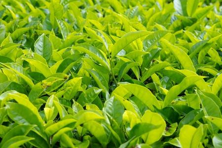 teepflanze: Teebl�tter mit Plantage im Hintergrund Lizenzfreie Bilder