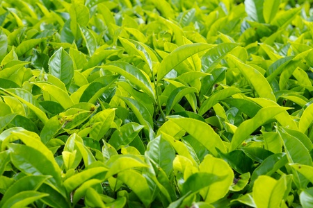 Tea leaves with plantation in the background Stockfoto