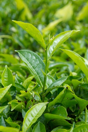 cameron: Tea leaves with plantation in the background Stock Photo