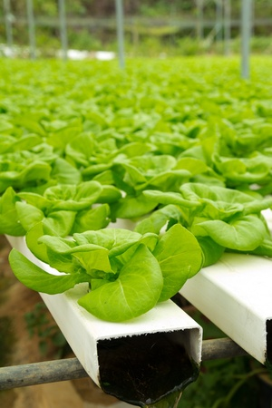 hydroponic: Organic hydroponic vegetable garden at Cameron Highlands Malaysia Stock Photo