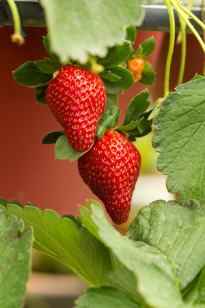 Organic strawberry plant with two big strawberries photo