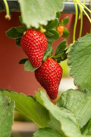 strawberry plant: Organic strawberry plant with two big strawberries Stock Photo