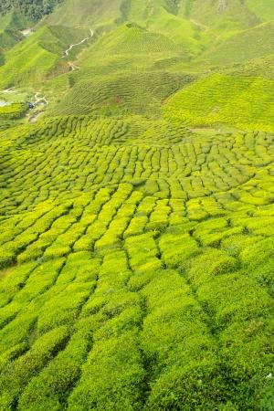 cameron: Tea farm in the Cameron Highlands, Malaysia