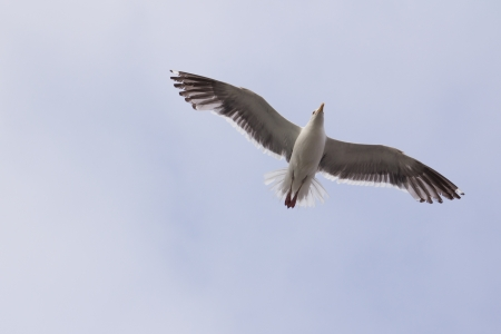 Seagull flying in the sky with wide open wings