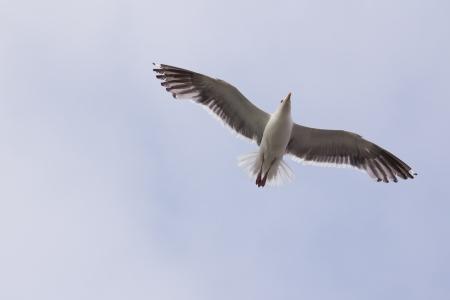 Zeemeeuw vliegt in de lucht met wijd open vleugels