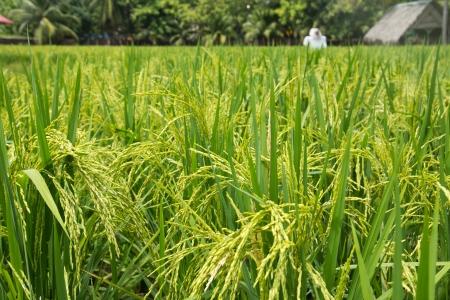 The greenish rice padi field in Malaysia Stock Photo - 14749352
