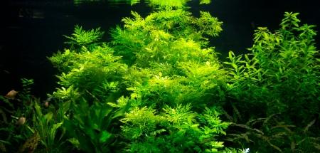 Groene zeewier planten met vissen in een aquarium