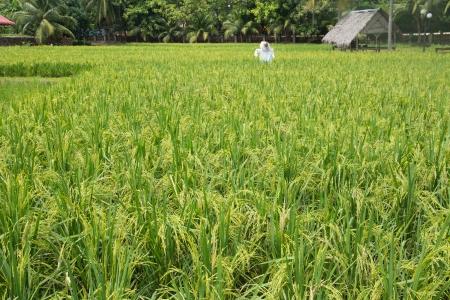The greenish rice padi field in Malaysia Stock Photo - 14749529