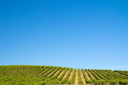 Vineyard field during summer in Sonoma County, California photo