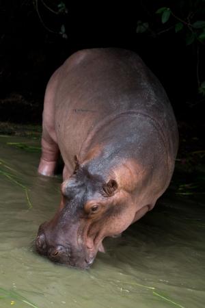 semi aquatic: Closeup of an adult hippo in the water