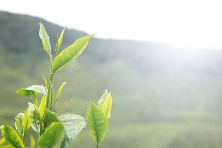 Tea tree: Tea leaves against early morning sun in plantation