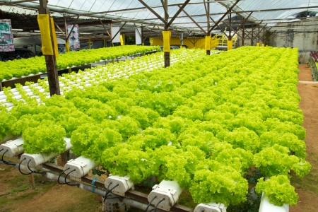 cameron highlands: Organic hydroponic vegetable garden at Cameron Highlands Malaysia Stock Photo