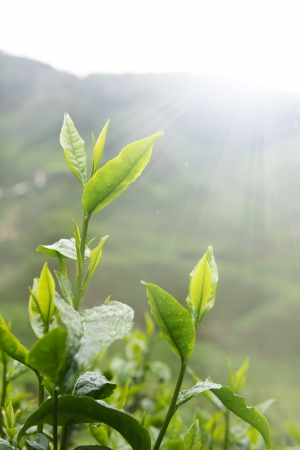 Tea leaves against early morning sun in plantation photo