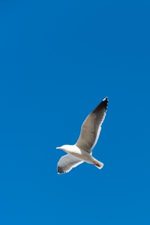 Seagull vliegen in de lucht met wijd open vleugels