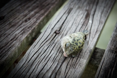 surviving: Dying fish on wooden jetty represents surviving concept Stock Photo