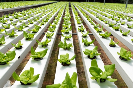 agriculture industrial: Hydroponic vegetables growing in greenhouse at Cameron Highlands